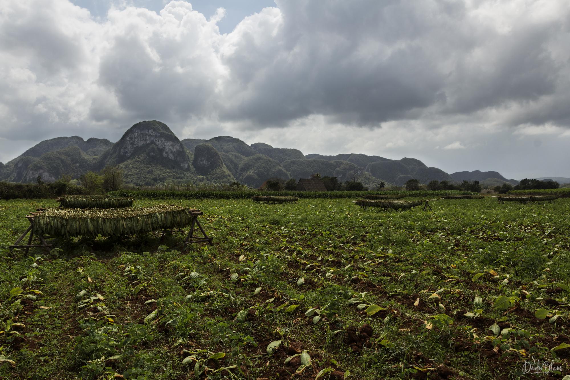 feuilles de tabac récoltées