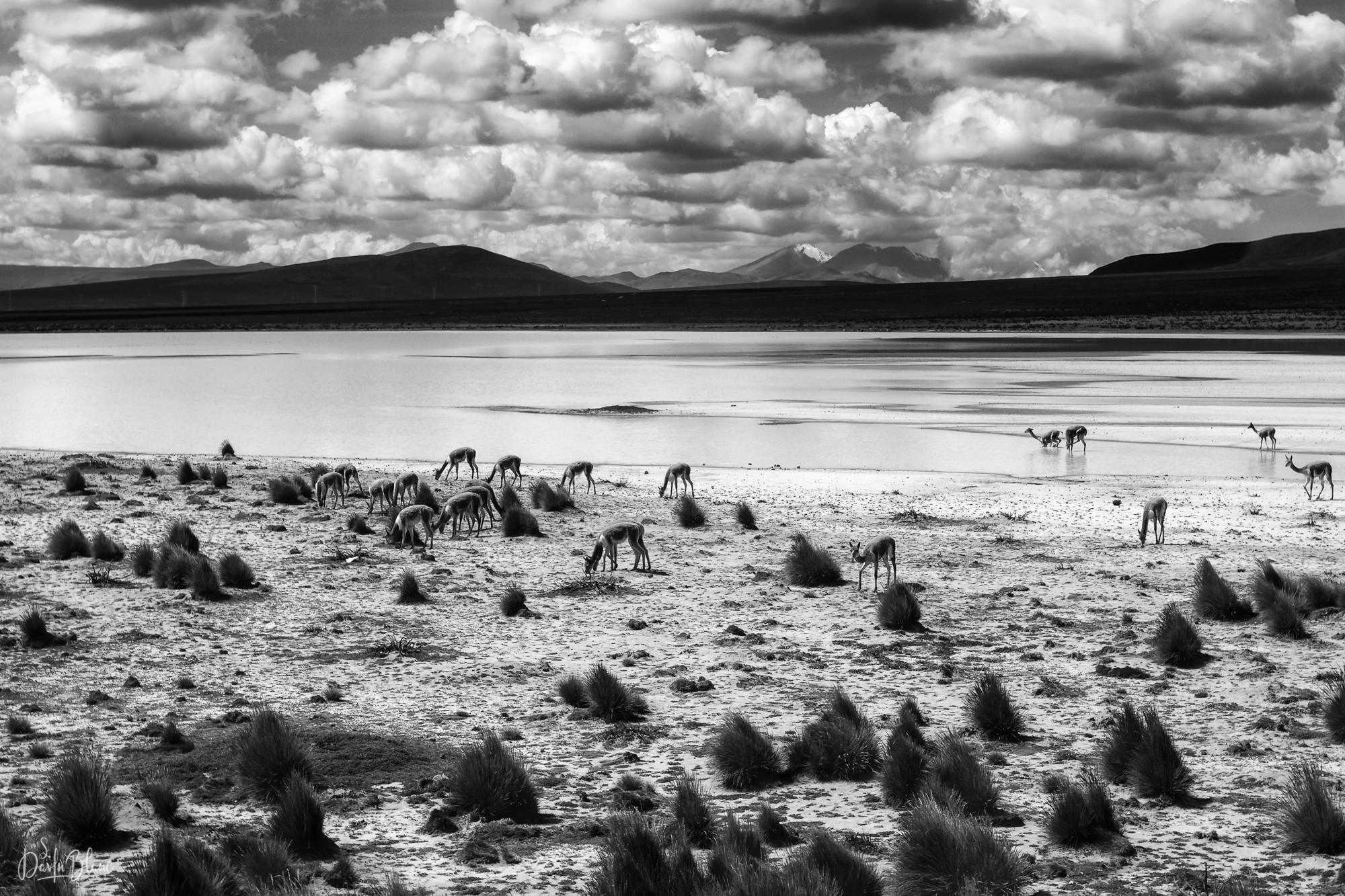 vigognes près lac altiplano