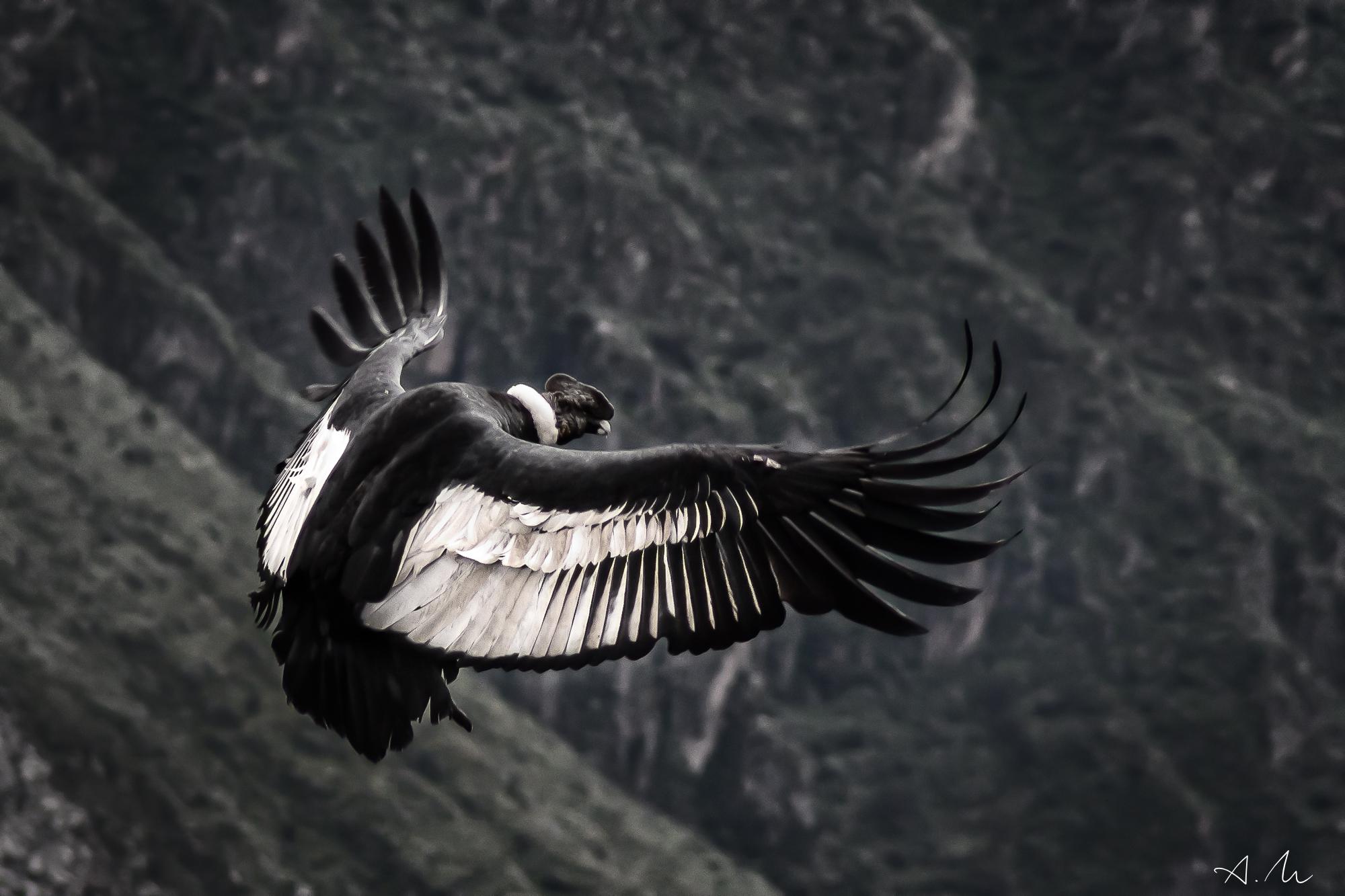 condor adulte va se poser sur un rocher